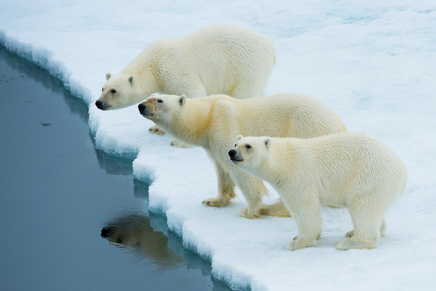 polar bears franz josef land cruise